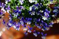 鉢植えのヴィオラ_200408