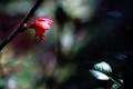ボケの花_200411