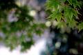 庭風景-楓青葉の木陰_200429