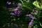 庭風景-トリテレイア__200426
