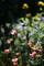 庭風景-ポピー_200426