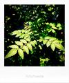 庭の山椒新葉_200430