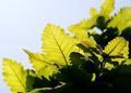 庭風景_200502-柏の新緑