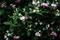 庭風景_200510-ハコネウツギ_DSC02518