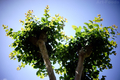 庭風景-サルスベリ_200517