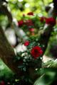 庭風景-木陰のローズ_200519