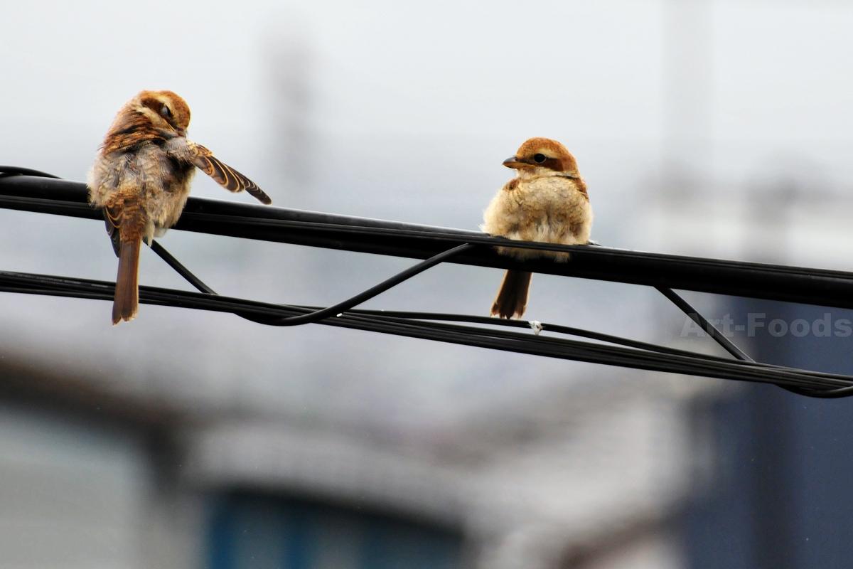 百舌鳥の幼鳥_200519