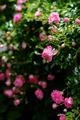 庭風景-ピンクのミニバラ_200523