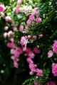庭風景-ピンクのミニバラ_200524