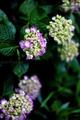 庭風景-紫陽花_200531