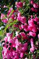 庭風景-ピンク薔薇_200530