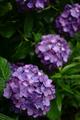 庭風景-紫陽花1_200611