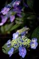 庭風景-紫陽花2_200611