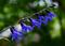 雨の庭風景-セージの花_200614