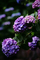 雨の庭風景-紫陽花_200613