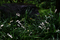 雨の庭風景-ヤブラン_200614