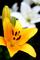 黄色の百合_200616