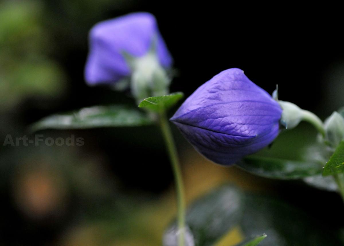 開花寸前の桔梗_200622