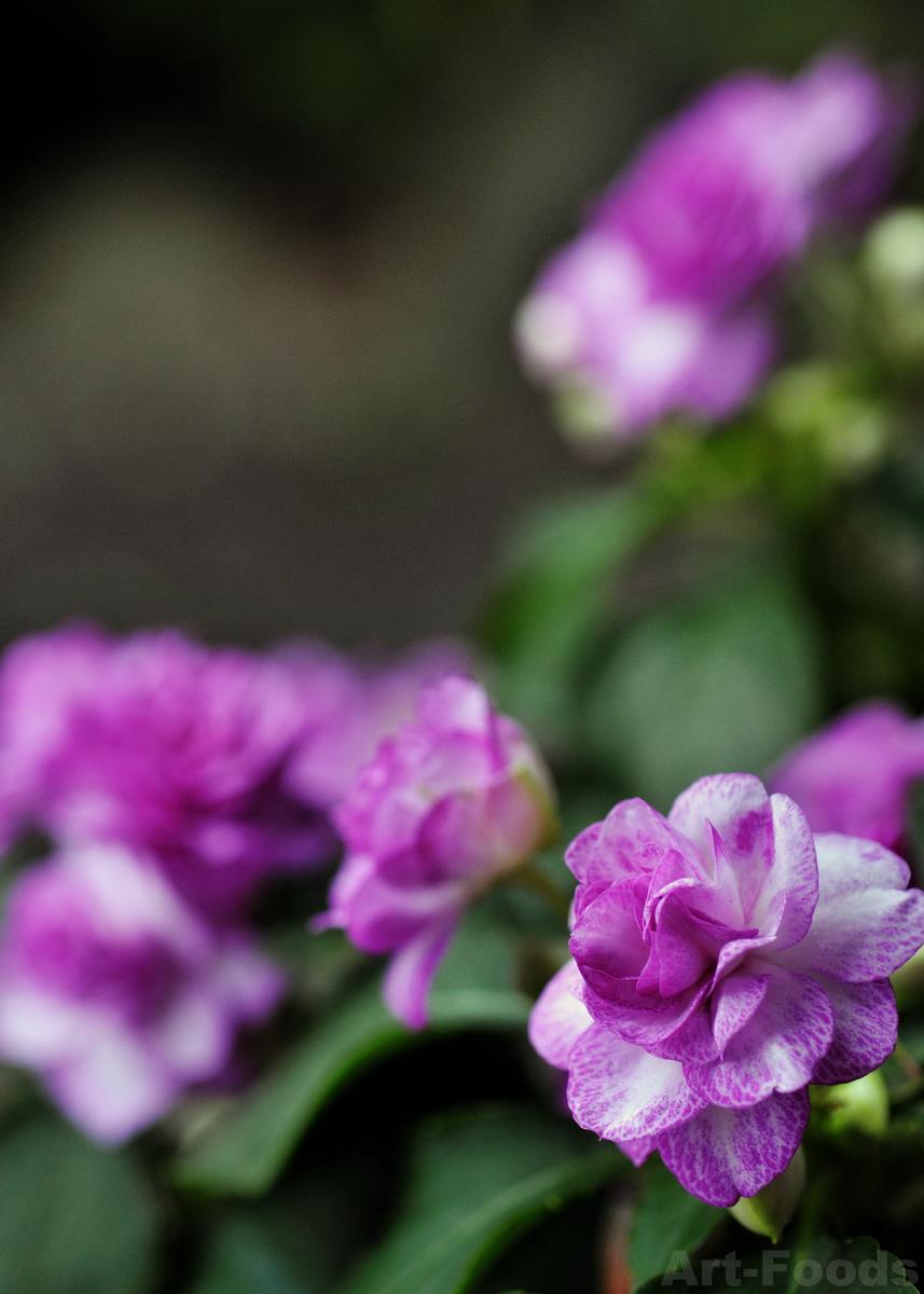 雨の庭風景-カリフォルニアローズ-1_200622