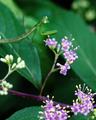庭風景-ムラサキシキブの花と子カマキリ_200627