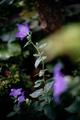 庭風景-桔梗_200627
