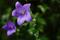 雨の庭風景-桔梗_200628
