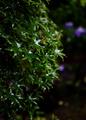 雨の庭風景-楓の葉_200701