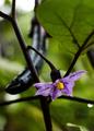 茄子の花_200705