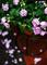 雨の庭風景-カリフォルニアローズ_200706