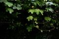 蔓に覆われる夏蜜柑_200708