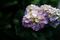 紫陽花_200708