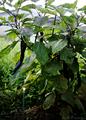 庭風景-菜園の長茄子_200802