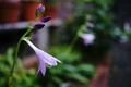 ギボウシの花_200801