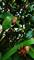 セミの抜け殻@柚子の木の下_200803