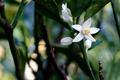 庭風景-金柑の花_200814