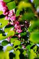 庭風景-百日紅_200814