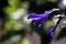 庭風景_200830_セージの花