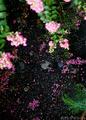 庭風景_200906-風雨に散った百日紅