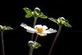庭風景_200906-アネモネの開花