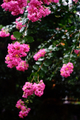 雨の庭風景_200907_百日紅