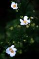 雨の庭風景_200912-アネモネ