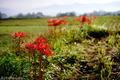田圃畦の彼岸花_201002