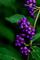 庭風景-ムラサキシキブの実_201004