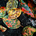 柿の落ち葉_201004