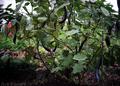 菜園の長茄子_200927