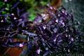 雨の庭風景-パープルハート_201010