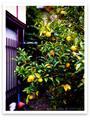 庭風景_色づく柚子_201107