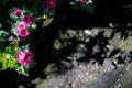 庭風景-紅色の小菊_201121