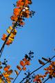庭風景-サルスベリの紅葉_201121