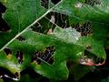 庭風景-柏の葉脈-C_201122